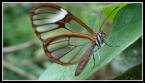 Greta butterfly